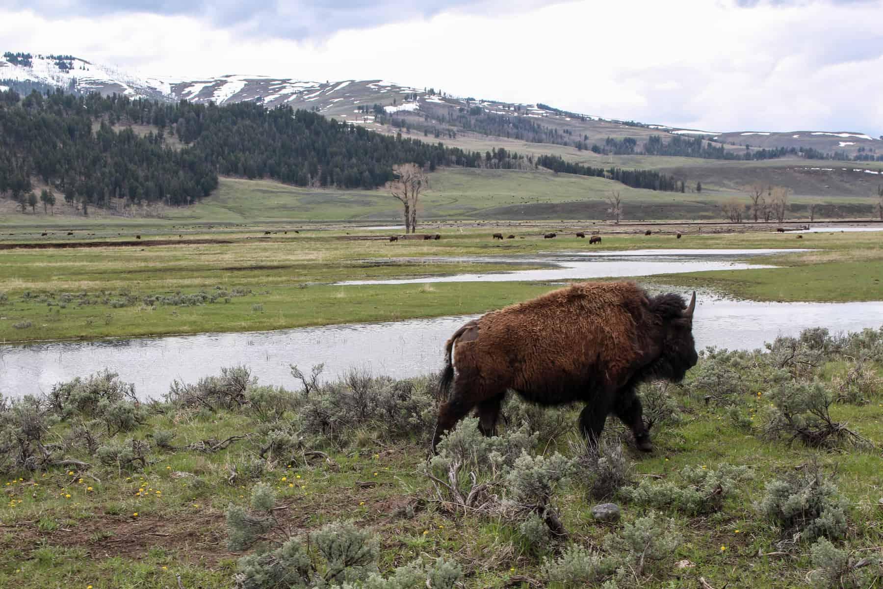 Bison Lamar Valley