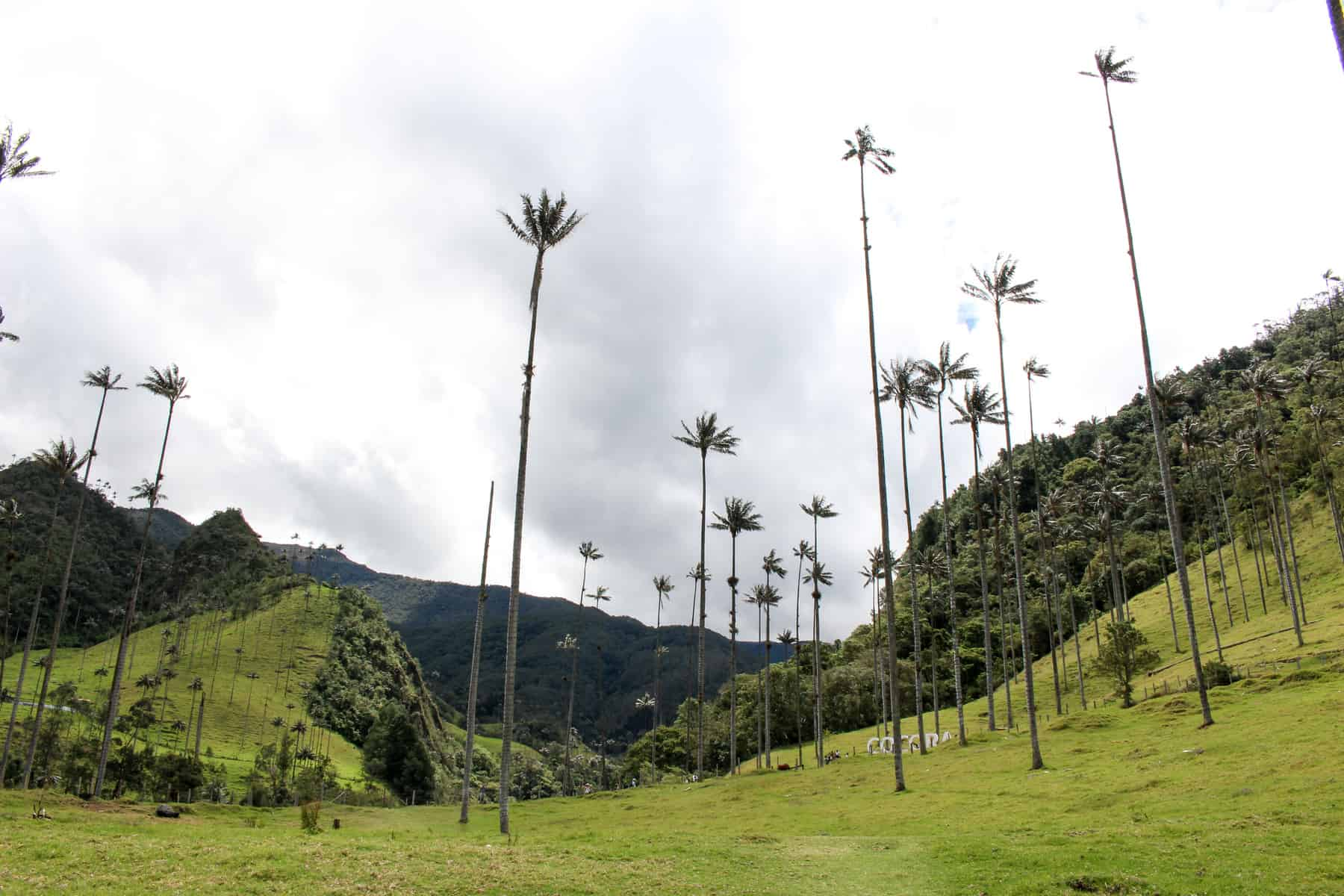 Cocora Valley Palms