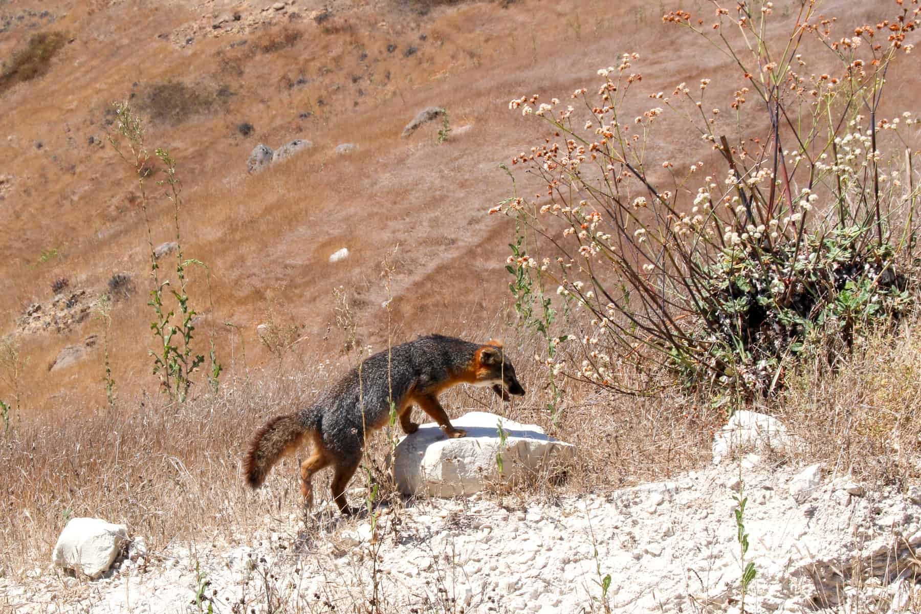 Island Fox Channel Islands National Park