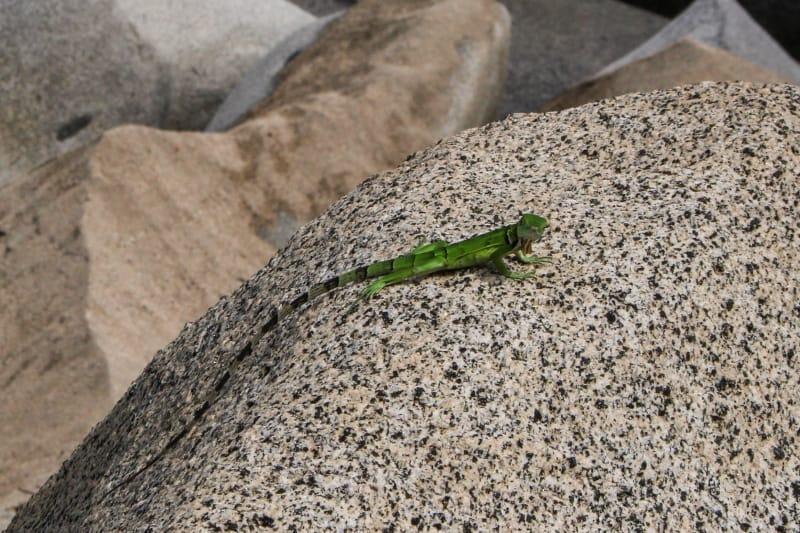 Lizard Tayrona