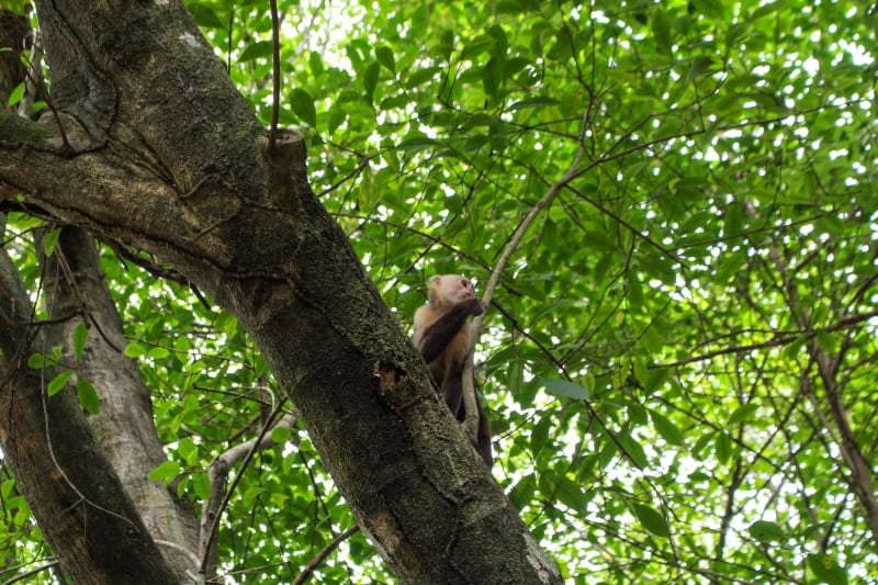 Monkey in Tayrona National Park