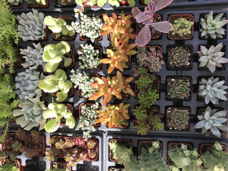 Temecula Farmers Market Succulents