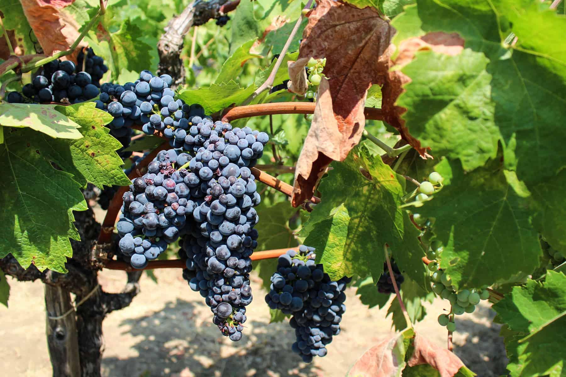 Grapes Wine Variety
